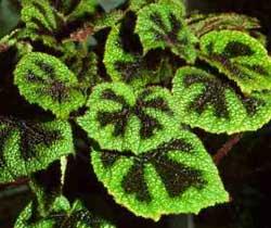 бегония листья зеленые круглые цельные цветы мелкие зеленые метелкой